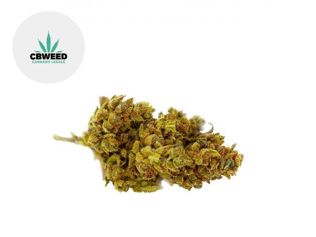 Mango Haze Fleur CBD 8% Greenhouse - Cbweed